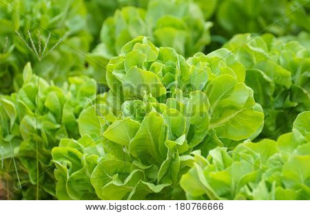 Closeup of Butterhead vegetable in the farm