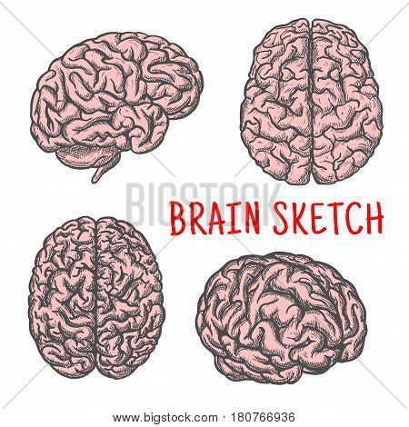 Brain sketch. Human organ vector isolated icons set of side, upper and front view. Medical symbol of brain and cerebellum for medicine or anatomy or science idea concept design