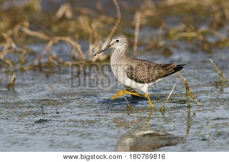 A Lesser Yellowlegs sandpiper, Tringa flavipes walks in shallow water in a Florida pond