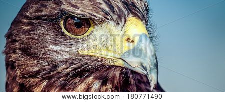 The eyes of a Harris Hawk in southern California.