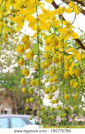 Golden shower stalk green flowers on a white background