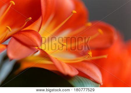 Details of a Natal lily flower (Clivia miniata)