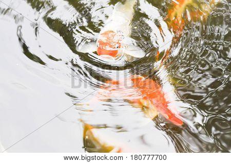 carps in the pond , carp fish