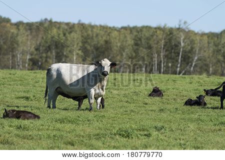 A cow and Black Angus calves in a pasture in early autumn