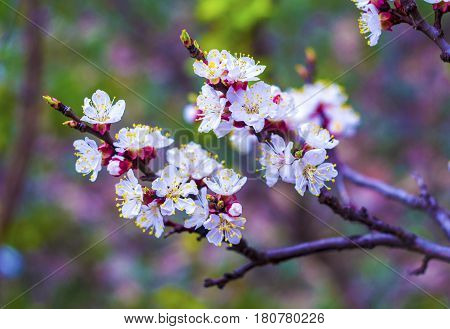 Flowering apricot branch. Blooming apricot. Spring. The young buds and leaves on the branches.