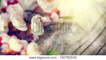 Spring Blossom over wood background. Beautiful Easter blossoming apricot tree flowers on wooden table