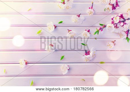 Spring Blossom on white wooden plank background. Easter Apricot flowers on wood border art design. Pink blooming tree on wood