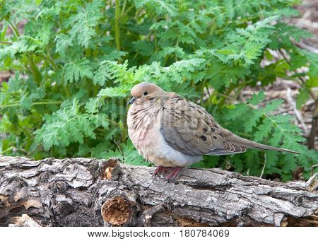 One mourning dove also know as a turtle dove perched on a branch puffed up. Birds fluff up their feathers to keep warm and also when they relax for sleep.