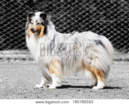 Collie dog standing outdoor over blurry background