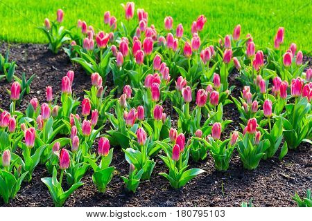 holiday or birthday background with beautiful closeup red pink tulips flowerbed