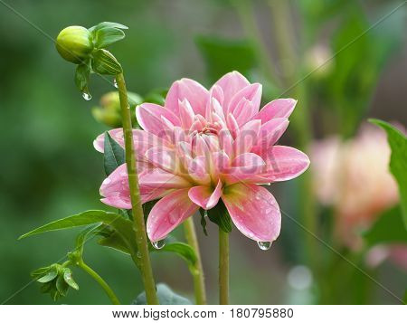 Pretty Pink Dahlia Flower And Bud With Dew Drops In Morning, Dahlia After Rain