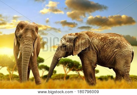 Elephants on the savannah at sunset.