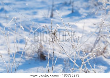 Plants With Rime In Close Up