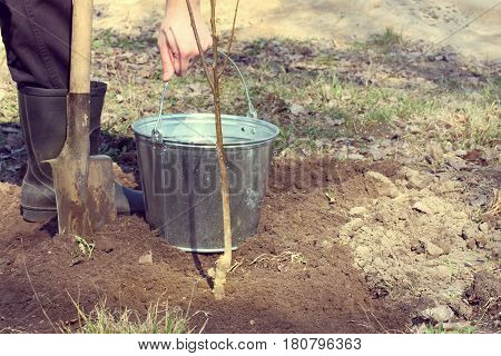 Gardener prepared a bucket of water for watering a tree seedling / garden care work