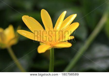 yellow lesser celandine flower in the Spring