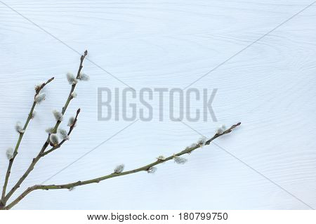 flat lay of spring pussy-willow twigs on a light wooden background Top view / festive Easter background