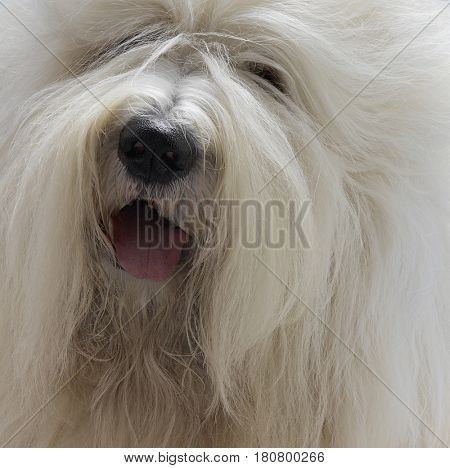 Closeup of Old English Sheepdog on blue background