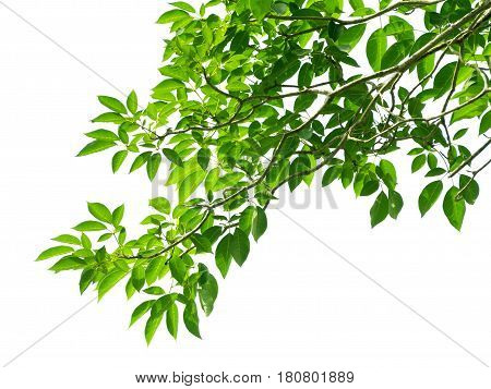 Green leaves from the corner on white background