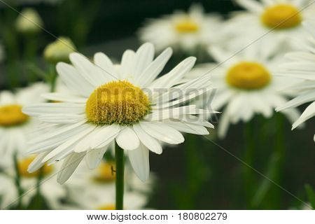 Daisy chamomile flowers field in garden medow of daisies