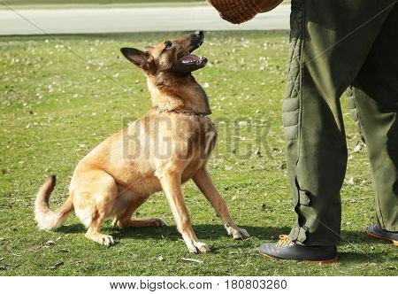 Training of working dog outdoors