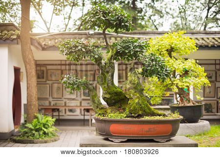 Bonsai In A Public Park In China