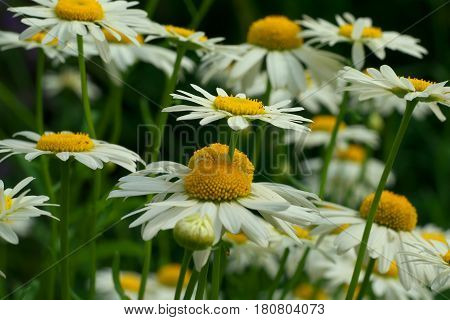 Daisy Chamomile Flowers Field In Garden, Medow Of Daisies