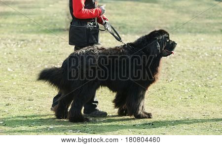 Dog specialist with Newfoundland outdoors