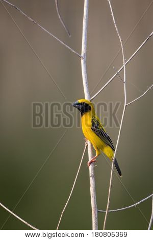 Image of bird (Asian golden weaver) on the branch on nature background. Wild Animals.