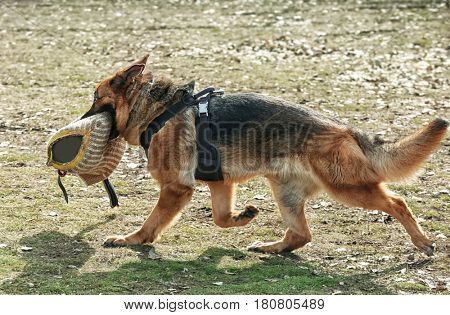 Working dog with arm protective sleeve outdoors