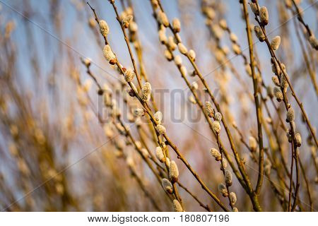 Catkins On Willow Tree Branches At Springtime.