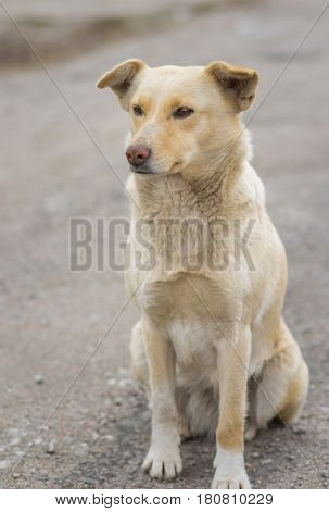 Nice portrait of stray cross-breed dog cream color sitting on a street