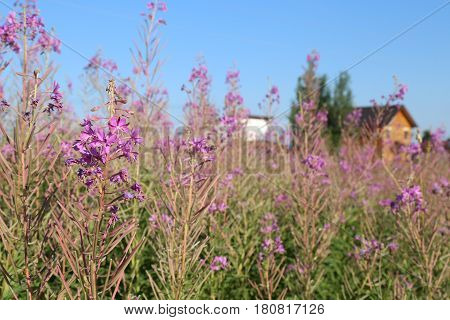 Country landscape with Blooming Sally herbs on the summer field