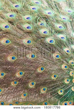 Colorful peacock tail feathers background close up