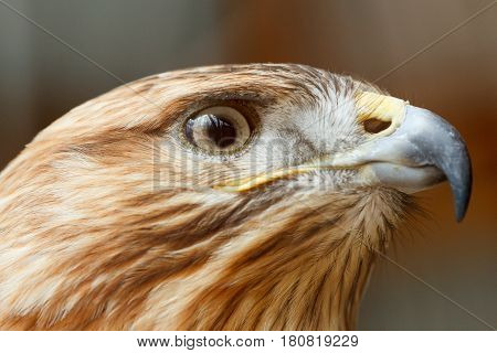 Head of a falcon bird with a huge beak close-up
