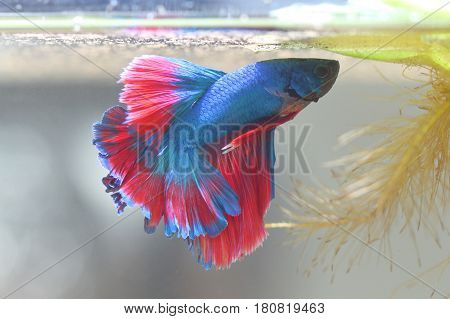 Fighting fish is creating Bubble nest in thailand.
