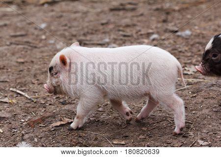 Cute little piglet running around on the farm
