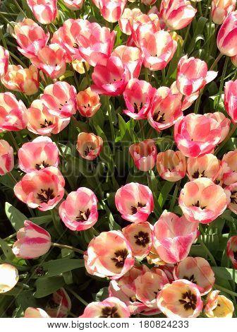 Цветущие розовые тюльпаны на поле ранней весной
