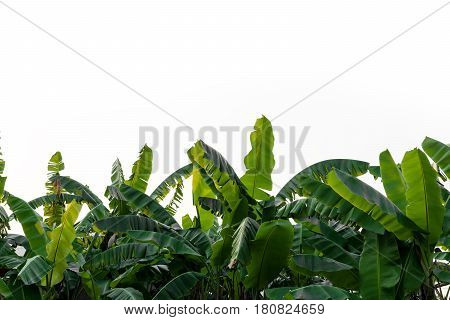 Banana leaves isolated on white background, leaf, tropical.