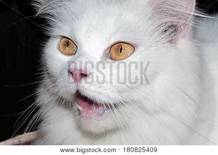white cat feline open mouth pet   kitten