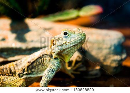 The iguana lizard in nature. soft focus