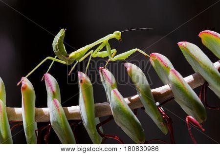 Close Up Macro Photo Of A Praying Mantis Walking On A Plant