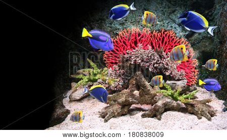 Underwater scene with corals and beautiful tropical fish - hepatus; blue tang. On black background