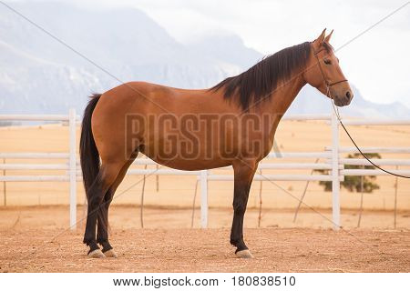 Close Up Of A Thorough Bred Horse In A Pen