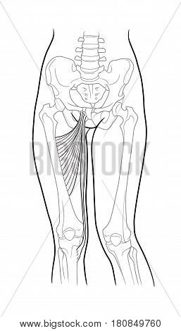 Thin thigh muscle long adductor hamstrings short adductor femur and female skeleton and bones of the legs front view. On a white background