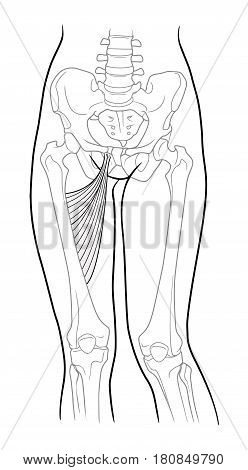 Long adductor hamstrings short adductor femur and female skeleton and bones of the legs front view. On a white background