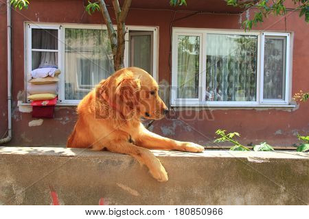 Dog over the fence near the house