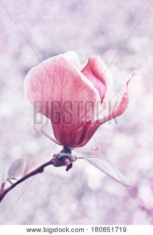 one flower of magnolia tree in springtime