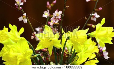 Jonquils,  daffodils, on black background in Spring.