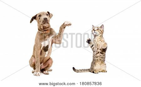 Pit bull puppy and a kitten playing together isolated on white background