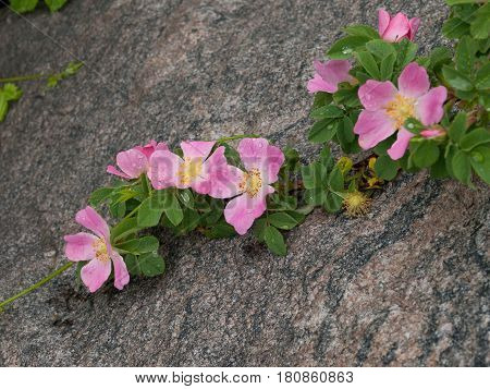 Branch of briar flowers on a granite stone in the garden.